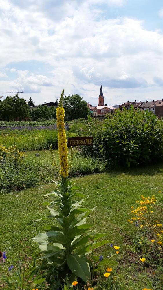 Königskerze wetteifert mit Wunderburgkirche