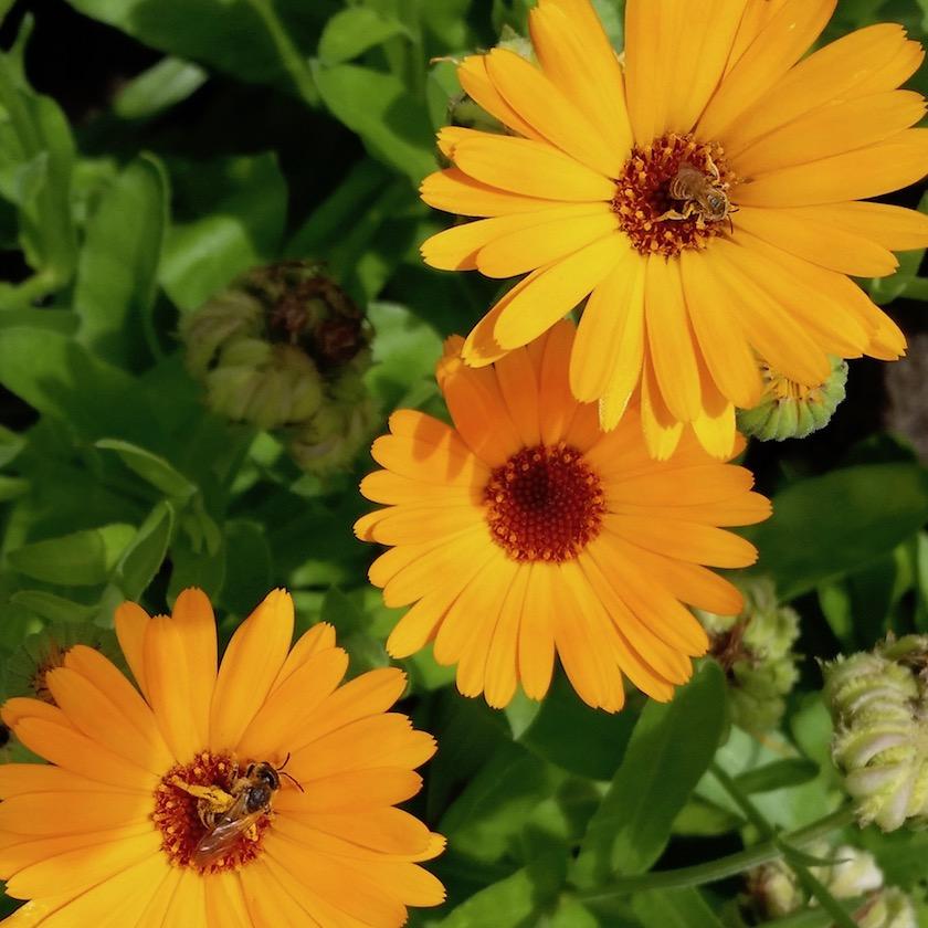 Wildbienen an Ringelblumen