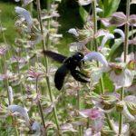 Holzbiene Xylocopa violaceaan Muskatellersalbei Salvia Sclarea