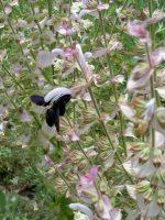 Holzbiene, schlürfend aus Muskatellersalbeiblüte