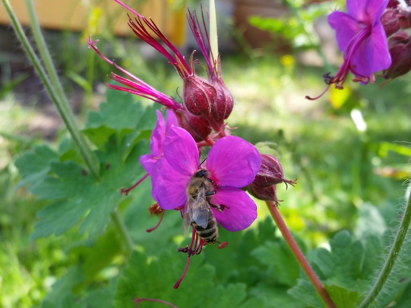 Honigbiene an Balkanstorchschnabel