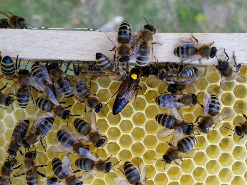 Bienenkönigin des Standortes Buger Wiesen