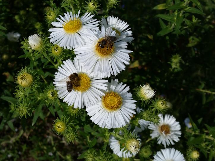 Bienen an weißer Herbstaster (Raublatt-Aster, Aster novae-angliae 'Herbstschnee')