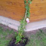 Rambler Rose Perennial Blue