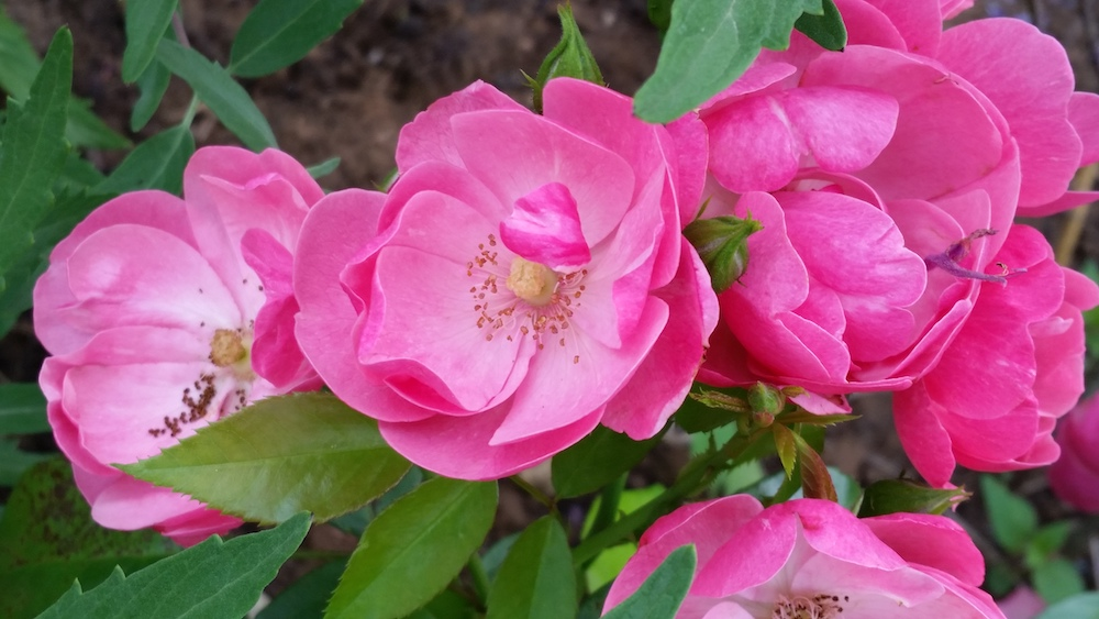 Rosa-Angela, eine Kleinstrauchrose im Bamberger Bienengarten