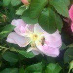 Kleinstrauchrose 'The Lady's Blush mit Biene'