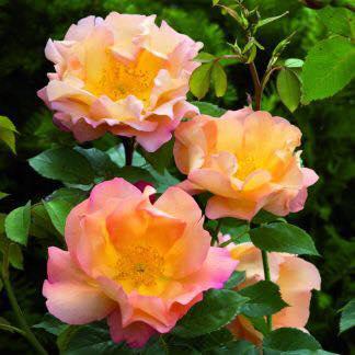 Englische Rose Fighting Temeraire