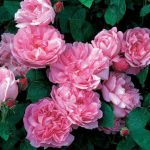 Ramblerrose Mary Rose