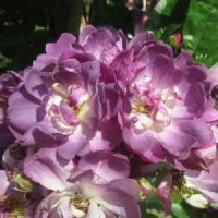 Ramblerrose Veilchenblau