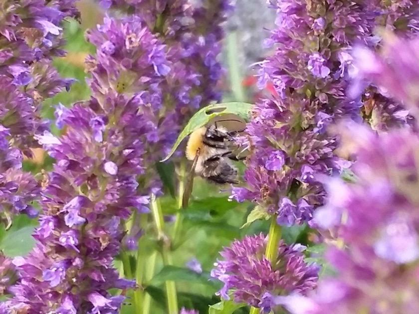 Biene an Duftnessel (Agastache rugosa)