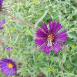 Biene an lila Herbstaster (Raublatt-Aster, Aster novae-angliae 'Violetta')