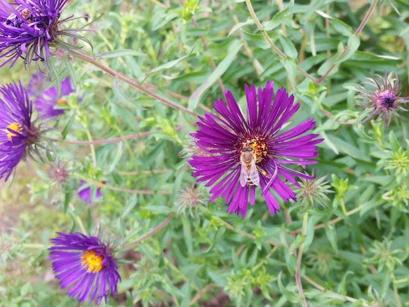Biene an lila Herbstaster