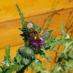 Biene an Mariendistel (Silybum marianum)