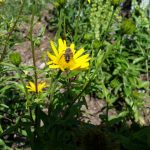 Biene-an-Faerberkamille (Anthemis tinctoria)