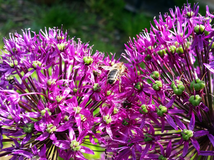 Biene an Kugellauch (Allium aflatunense 'Purple Sensation'