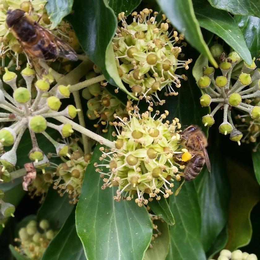 Schwebfliege und Biene an Efeu