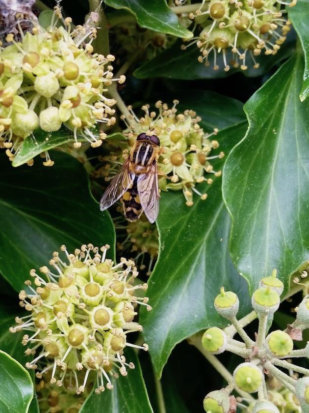 Syrphidae (Schwebfliege) an Efeu
