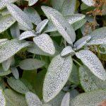 """Salvia officinalis """"Berggarten"""" – Gewürzsalbei 'Berggarten'"""