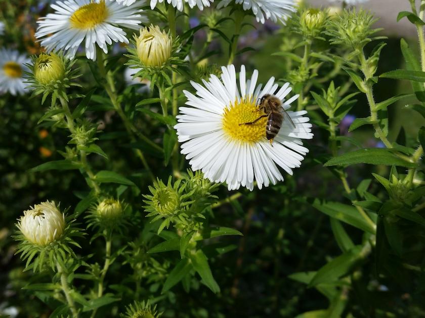 Biene an weißer Herbstaster (Raublatt-Aster, Aster novae-angliae 'Herbstschnee')