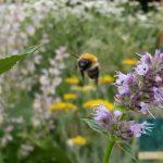 Wildbiene an Anis-Ysop / Duftnessel (Agastache anisata)