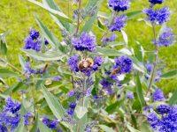 Wildbienen an Bartblume (Caryopteris clandonensis)