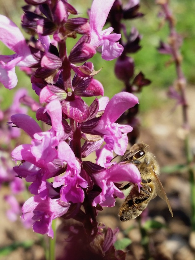 Biene an Salvia nemorosa 'Pink Friesland'