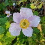 Herbstanemone – Anemone hupehensis 'Ouvertüre'