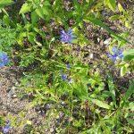 Kornblume (Cyanus segetum Hill) in der Blühwiese