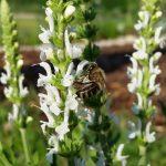 Biene an Ziersalbei (Salvia nemorosa 'Adrian')