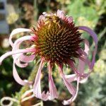 Wildbiene an Schmalblättrigem-Sonnenhut (Echinacea pallida)