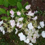 Rispenhortensie (Hydrangea paniculata 'Mathilde')