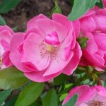 Strauchrose Rosa Angela