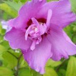 Hibiskus, Straucheibisch (Hibiscus syriacus)