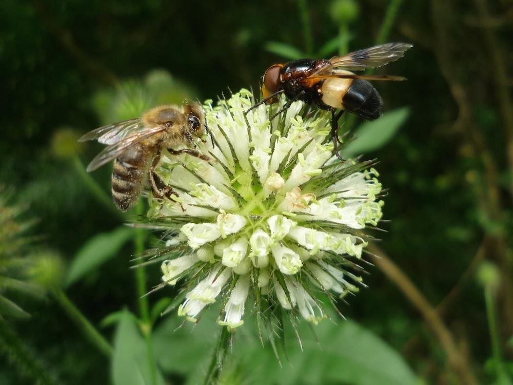 Biene an Distel mit weißbindiger Hummelschwebfliege (Volucella pellucens)
