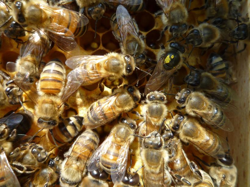 Bienenköniginn