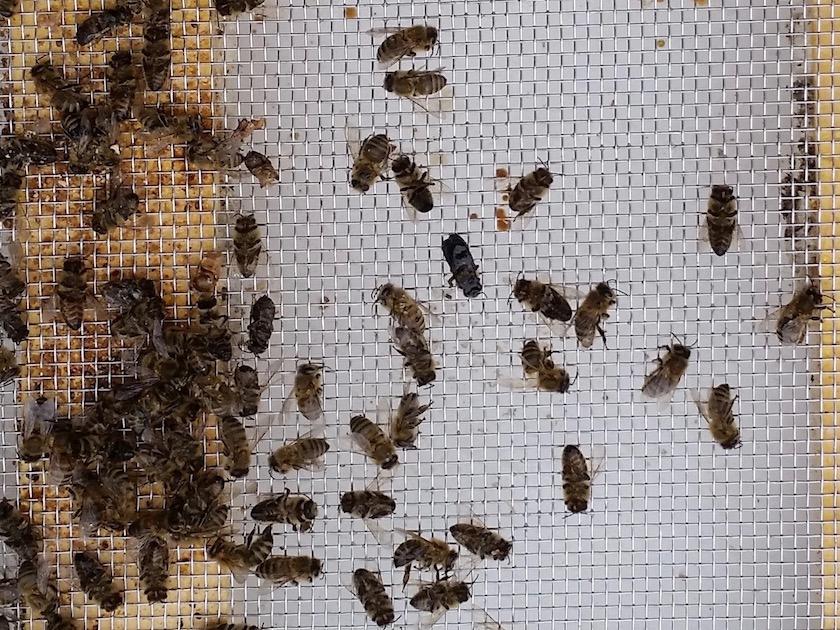 Tote Bienen im Landkreis Bamberg © Bienensachverständiger Reinhold Burger