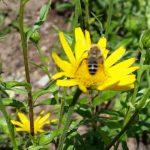 Biene an Buphthalmum salicifolium – Ochsenauge