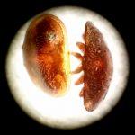 Varroamilbe (Varroa destructor), von oben (re.), links von der Seite