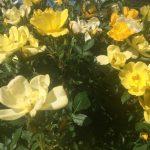 Rosa 'Golden Age'