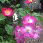 Rosa 'Rosenreigen'