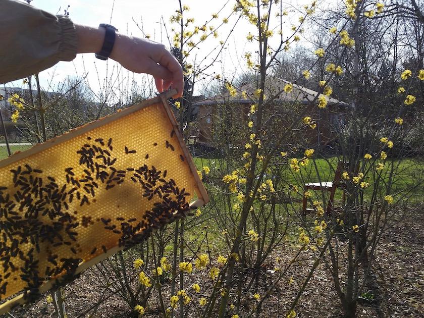 Bienen vor Bienen-InfoWabe im Erba-Park