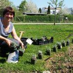 Maßnahmen für das Einpflanzen der Lavendel