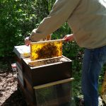 """Pollenwabe ziehen am Lehrbienenstand """"Fünferlessteg"""""""