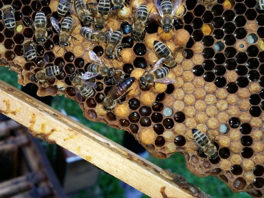 Bienenkönigin der Uni-Bienen.
