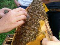 Einfangen der Uni-Bienenkönigin