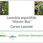 Pflanzetikett Lavandula angustifolia 'Hidcote Blue', Garten-Lavendel