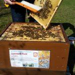 Abkehren am Bienenpatenvolk von Annemarie Rudel, Erba-Insel, Bienenweg