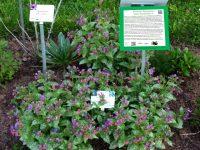 Geflecktes Lungenkraut (Pulmonaria saccharata), beliebtes Bienenfutter im Bamberger Bienengarten