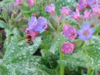 Wildbiene Langhornbiene (Eucera nigrescens) an Geflecktem Lungenkraut