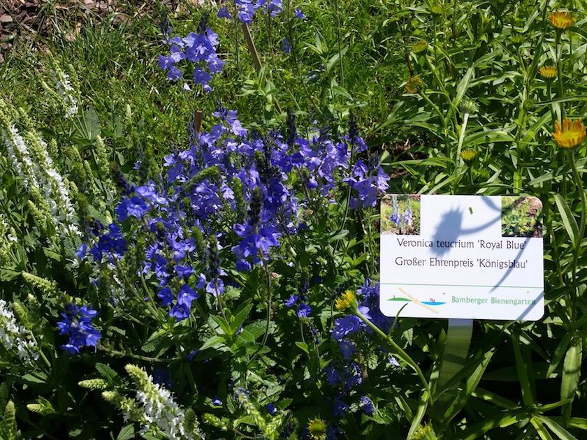 Großer Ehrenpreis 'Königsblau' (Veronica teucrium 'Royal Blue')